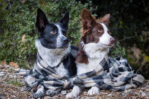 Elevage-eleveur-chien-chiot-berger-australien-border-collie-rottweiler-jack-russell-languedoc-roussillon-photo-BC-01